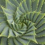 Aloe Vera plant full frame close up